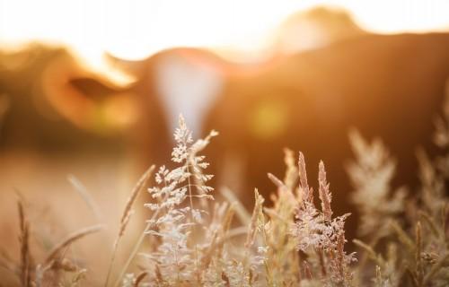 Karstajās vasaras dienās lauksaimniekus mudina īpaši uzmanīt ganāmpulkus
