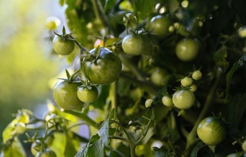 Uz Agroresursu un ekonomikas institūta Rīgas filiāles terases izveidots garšaugu un dārzeņu dārzs