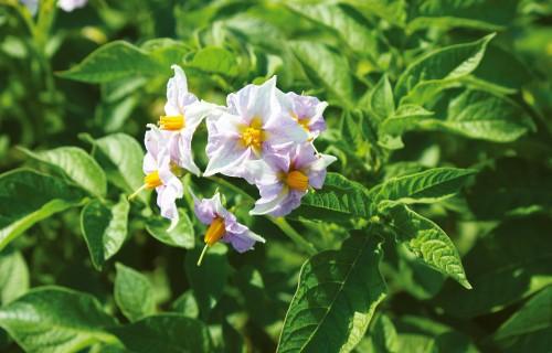 Kā izaudzēt labus cietes kartupeļus