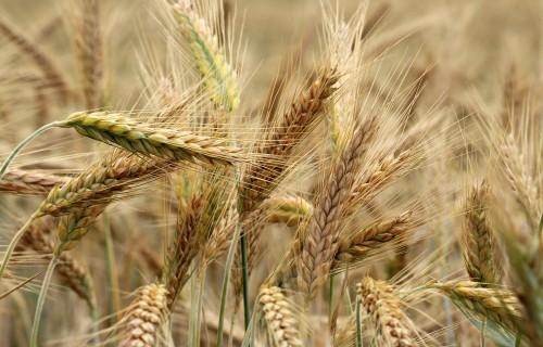 Karstā laika ietekmē graudu raža samazinājusies par 15-20%