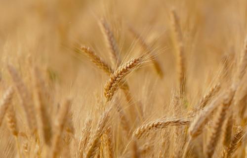 Atceļ ierobežojumu augu aizsardzības līdzekļus ar zemu kaitīguma pakāpi lietot tikai 5000 kvadrātmetru platībā