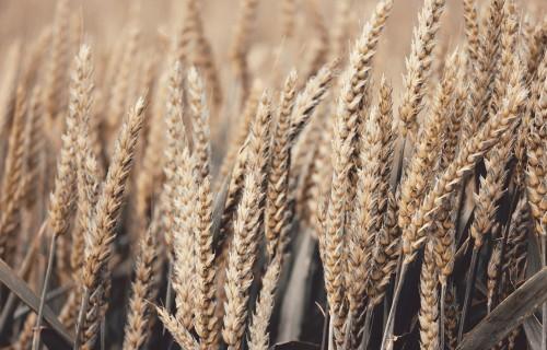 Labības audzētājiem izaicinājumu pilna sezona