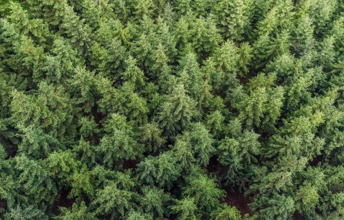 Egļu astoņzobu mizgrauži nav Latvijas kokrūpniecības nozares lielākās galvassāpes