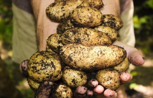 """Valmieras muzeja Garšaugu dārzā būs skatāma dārzeņu izstāde """"Kartupelis"""""""