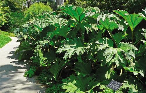 Bīstamie skaistuļi – invazīvie augi krāšņumdārzos