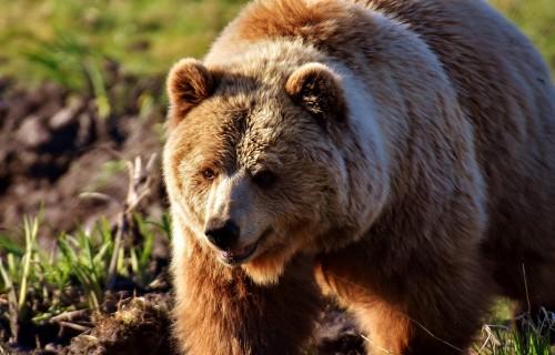 Šogad DAP izmaksājusi 6192 eiro biškopjiem un lopkopim par lāču postījumiem