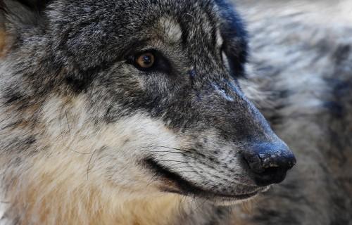 Aicina ziņot par vilku uzbrukumiem mājlopiem