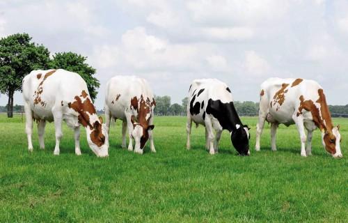Izmantotā vaislinieka un tā izcelsmes valsts ietekme uz to meitu piena produktivitātes un ilgmūžības rādītājiem