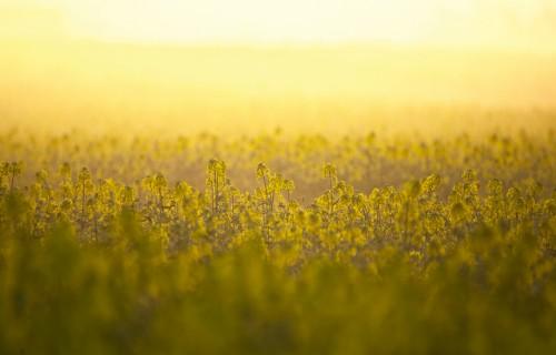 Sirdsmiers un pārliecība nezāļu kontrolei ziemas rapšu sējumos