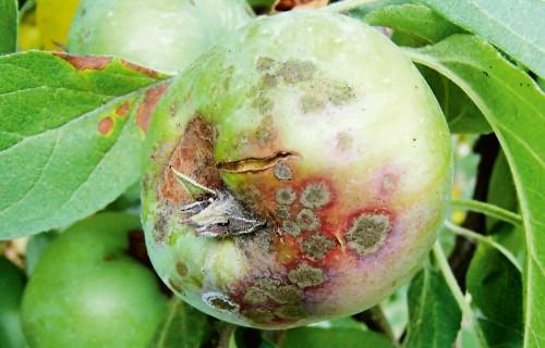 Kaitīgo organismu augustā izplatība un attīstība