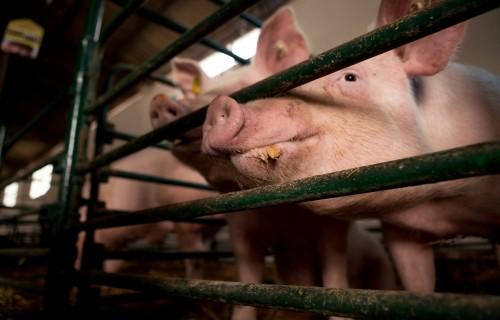 """Piešķirs 937 281 eiro """"Korkalns"""" par piespiedu kārtā nogalinātajiem dzīvniekiem ĀCM apkarošanas laikā"""