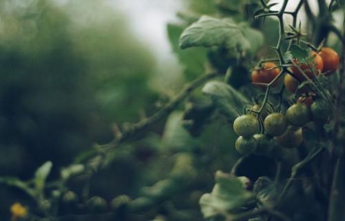 Dārzeņu ražošana siltumnīcās ar gaiss-gaiss siltumsūkņiem samazina CO2 emisijas