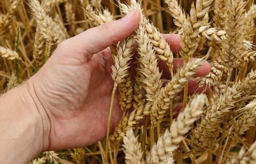 Lauku konsultāciju un izglītības centrs šogad Latvijā prognozē graudu ražu 3,4 miljonu tonnu apmērā