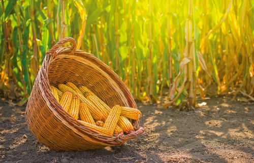 Cukura kukurūza - šogad padevusies!