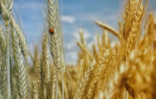 """""""Rēzeknes dzirnavnieks"""": Gads graudkopībā bijis labs"""