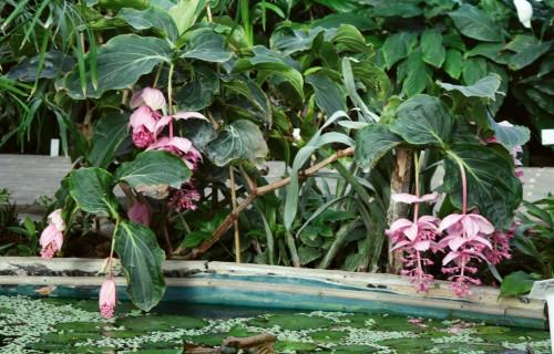 Greznā medinilla ar ziediem kā no porcelāna