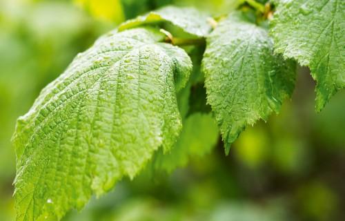 Piecu pirmelementu spēka augi