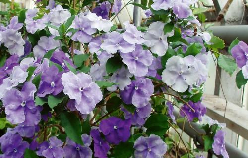 Brunfelzijas – telpaugi ar milzu kartupeļu ziediem