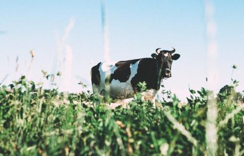 Latvijā nodotā piena apmērs decembrī palielinājies par 2,4%