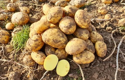 Kā sasniegt labus rezultātus, audzējot kartupeļus