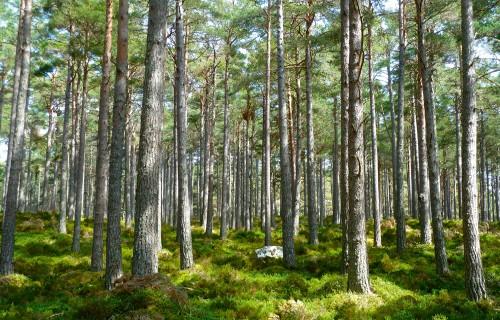 Meža audzēšanas riski Latvijā
