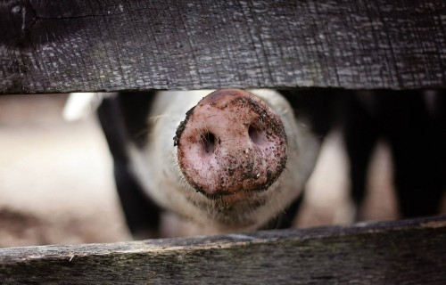 """Aicina Ogres novada iedzīvotājus paust viedokli par """"Baltic Pork"""" cūku audzēšanas kompleksa paplašināšanu"""