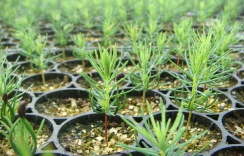 LVM paveiktais 2020: pārdoti 56,5 miljoni augstvērtīgu meža stādu