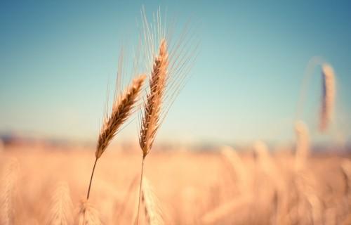 Lauksaimnieki arvien aktīvāk apdrošina sējumus un dzīvniekus