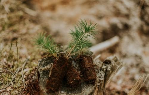 """Kooperatīvs """"Mežsaimnieks"""" pērn iestādījis vairāk nekā 1,1 miljonu koku"""