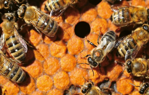 Vai bites glābs litijs?