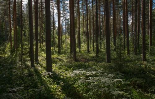 Kā klimata pārmaiņas ietekmē Latvijas mežus