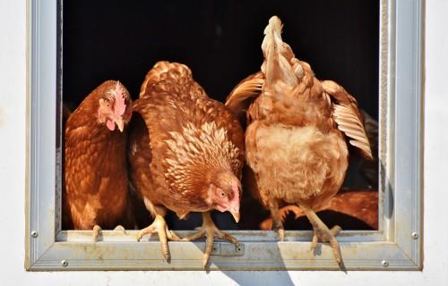 Notiks vebinārs par biodrošības pasākumiem putnkopības nozarē