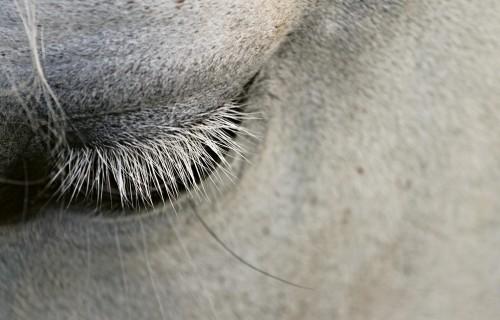 Zirga eitanāzija