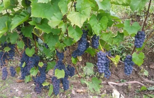 Zaļās operācijas vīnogulājos