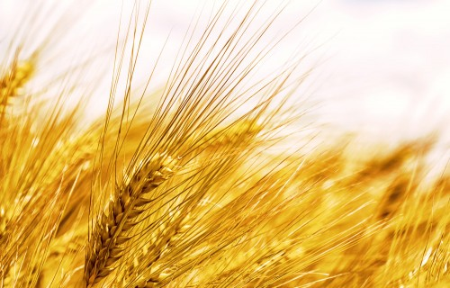 Lauku diena par bioloģisko graudaugu audzēšanu