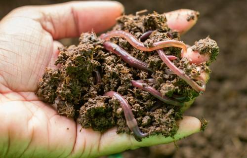 Slieku komposts ražīgam dārzam
