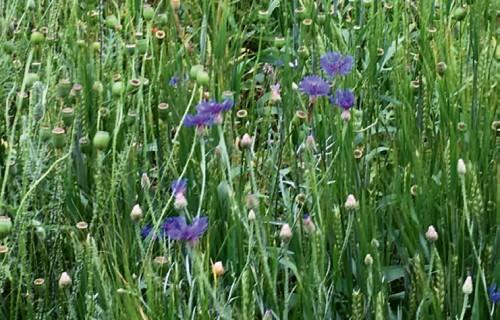 Inovatīvi herbicīdi nezāļu ierobežošanai graudaugu un rapšu sējumos