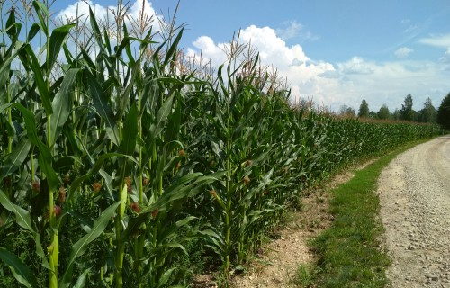 Kukurūzas audzēšana Latvijā