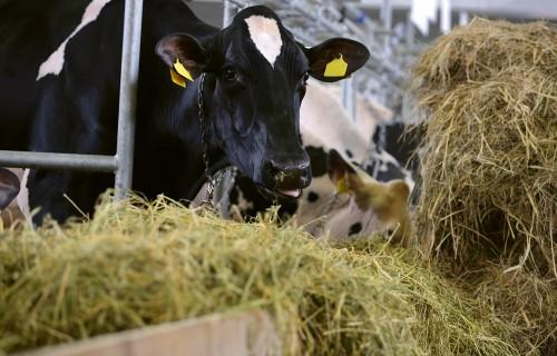 Mērķtiecīga piensaimniecība un ēdināšana!