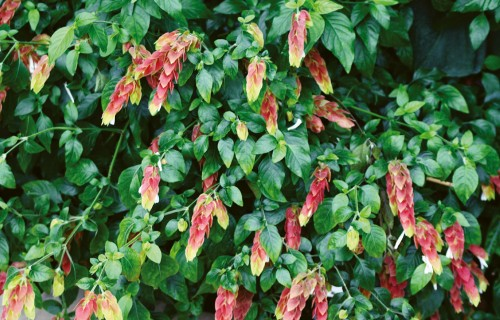 Justīcija jeb beloperone – tropu telpaugs ar apiņu ziediem