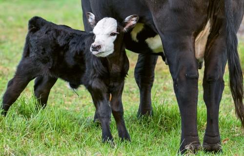 Ekspresmetožu izmantošanas iespējas slaucamo govju jaunpiena kvalitātes novērtēšanā