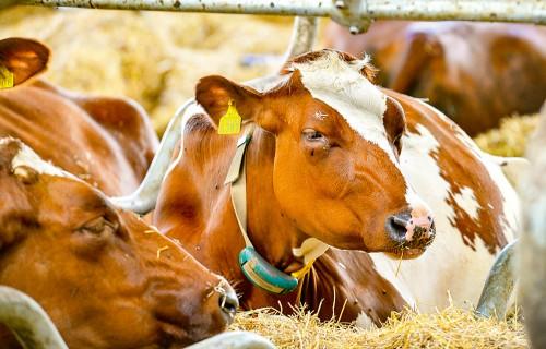 Mikroklimats slaucamo govju mītnēs