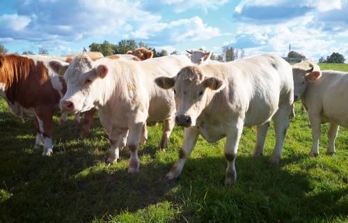 Baltic Grassland Beef – ar zāli nobarotu jaunlopu realizācijas iespējas