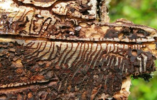 Bīstamākie mežu kaitēkļi un slimības